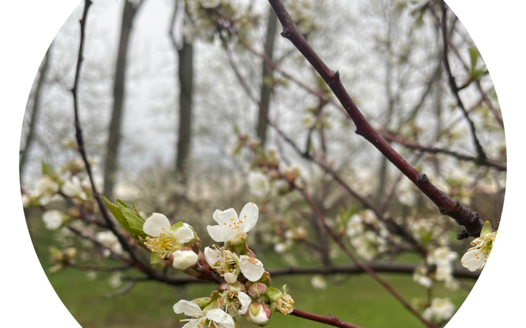 Backyard Tart Cherry Bloom
